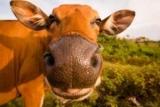 Серед корів знайшли оптимістів і песимістів