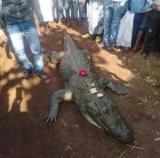 В Індії півтисячі людей ховали крокодила