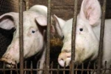 В Україні зростають закупівельні ціни на свинину: графік